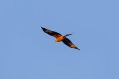 Red Kite (Geraldine Curtis) Tags: cotswolds rural scene kite bird birdofprey gloucestershire upperslaughter