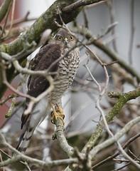 Yearling female (john.purvis) Tags: sigma500mmf4sport rspb bbcspringwatch bto ornithology birds raptor canon1dxmark2 sparrowhawk