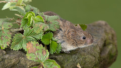 Vole in the garden (Thomas Winstone) Tags: ebbwvale wales unitedkingdom gb vole canonuk canon 300mm28mk2 mammal mammals uk countryside outdoor forest forestry wild wildlife nature canon1dxmark2 3lt my3leggedthing thomaswinstonephotography bbc springwatch bbcspringwatch nationalgeographic