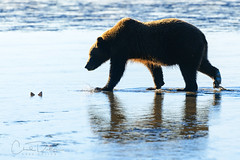 Clamming (Chad Dutson) Tags: animal animals bear bears brown coastal grizzly grizzlies morning sunrise nature wilderness wild ocean beach shore coast sand light reflection glow clam clams clamming oceanscape seascape alaska peninsula pacific northwest
