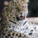 Leopardess with open mouth
