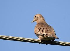 Plain-breasted Ground-Dove (anacm.silva) Tags: plainbreastedgrounddove dove rola ave bird wild wildlife nature natureza naturaleza birds aves tárcoles costarica columbinaminuta