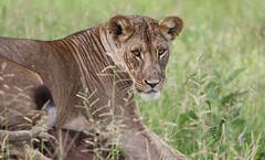 A Sceptical Look ... (AnyMotion) Tags: mondayface lion löwe pantheraleo lioness löwin portrait porträt cat cats katzen katze 2018 anymotion tarangirenationalpark tanzania tansania africa afrika travel reisen animal animals tiere nature natur wildlife 7d2 canoneos7dmarkii