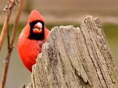 Cardinal, Cardinalis cardinalis, Male (4) (Herman Giethoorn) Tags: cardinal red bird