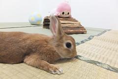 Ichigo san 1520 (Errai 21) Tags: いちごさん ララと一緒 ichigo san  ララ ichigo rabbit bunny cute netherlanddwarf pet うさぎ ウサギ いちご ネザーランドドワーフ ペット 小動物  ichigo 1520