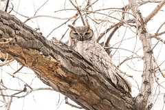 March 23, 2019 - A great horned owl keeping watch in Thornton. (Tony's Takes)