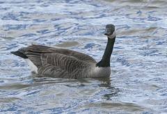 Canada Goose (a56jewell) Tags: a56jewell canadagoose longpoint spring mach