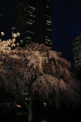 ji Temple Sakura blossoms 06 (HAMACHI!) Tags: tokyo 2019 japan ricoh ricohimaging ricohgr ricohgriii ricohgr3 gr3 griii gr weepingcherry 常圓寺 joenjitemple sakura cherryblossoms cherryblossom cherry night nightscene nightscape nightview lightup flower