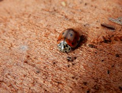 Cream-streaked ladybird (rockwolf) Tags: creamstreakedladybird ladybird coccinellidae coleoptera beetle coccinelle coccinelleà4points insect abbeywood shropshire harmoniaquadripunctata rockwolf