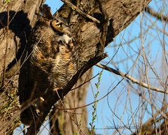 Great-Horned_Owl_03 (DonBantumPhotography.com) Tags: wildlife nature animals birds greathornedowl donbantumcom donbantumphotographycom owl birdsofprey nightstalker raptor predator