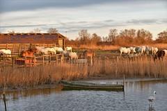 chevaux en Camargue (Bernard Fabbro) Tags: cheval camargue horse