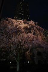 ji Temple Sakura blossoms 13 (HAMACHI!) Tags: tokyo 2019 japan ricoh ricohimaging ricohgr ricohgriii ricohgr3 gr3 griii gr weepingcherry 常圓寺 joenjitemple sakura cherryblossoms cherryblossom cherry night nightscene nightscape nightview lightup flower