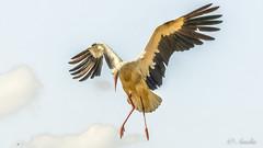 Cigüeña (ameliapardo) Tags: aves pájaros cigüeñas vuelo fujixt2 fujinon50140 cañadadelospájaros lapuebladelrio sevilla