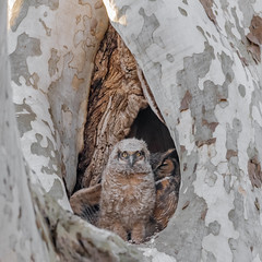 4/6/2019 6:28pm (sunset) (Kevin E Fox) Tags: greathornedowl owl owlet wing raptor bird birdwatching birding birds birdofprey birdphotography sigma150600sport sigma nature nikond500 nikon mountjoy pennsylvania