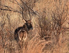 Camouflage ll (Megs svg) Tags: water buck waterbuck southafrica africa dry veld winter antelope