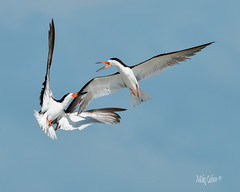 Ouch!   Black Skimmer Skirmish (MyKeyC) Tags: florida tigertailbeach birds tigertail