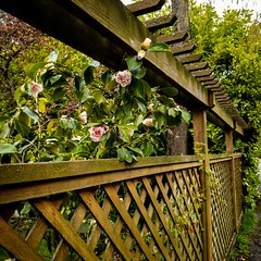 Fence with camellias (CAJC: in the PNW) Tags: fence fencefriday happyfencefriday fencewithcamellias seattlewa springinseattle samsunggalaxys9 lightroommobileapp