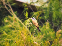 IMG_0145_edit (cnajhar2) Tags: nature bird ave tropicalkingbird suiriri