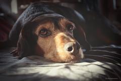 Dream a little Dream of me... (lichtspuren) Tags: lemmy lemmel bracke hellenichound hellinikosichnilatis blackandtan braque dog hund friend lichtspuren
