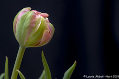 20190414ODC25112 (Laurie2123) Tags: laurieabbottturner laurieabbotthartphotography laurieturner laurieturnerphotography laurie2123 nikkor105mm nikond800e odc odc2019 ourdailychallenge macro micro upclose tulips offcameraflash ad200
