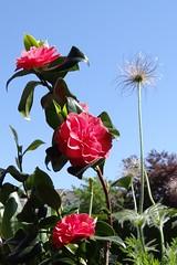 Happy Weekend (Gartenzauber) Tags: sony natur kamelie floralfantasy