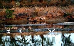 ___ quotidianità (erman_53fotoclik) Tags: canon eos 500d quotidianità uccelli natura gabbiani riflessi riva piante erba acqua deltadelpo valli rosolina rovigo