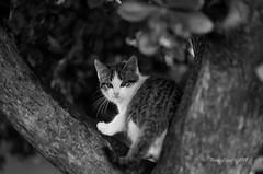 copito y el madroño _DSC2425 (Rodo López. Fotero... instantes en un clic) Tags: gatos gato arbol madroño elbierzo explore nikon naturaleza naturebynikon excapture españa nature blancoynegro animalesenelbierzo animalesdecompañia