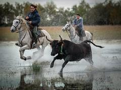 On the Run (MrBlackSun) Tags: blackbull bull southfrance camargue guardian gardian nikon d810