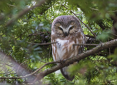Northern Saw-whet Owl (Nick Scobel) Tags: northern sawwhet owl aegolius acadicus raptor bird prey michigan roosting sleepy eyes forest conifer evergreen