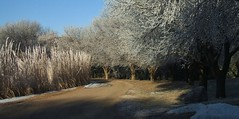 Frost (ConanTheLibrarian) Tags: frost driveway trees landscaping winter snow road white tan blue twigs branches