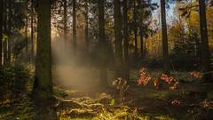 forest series #214 (Stefan A. Schmidt) Tags: warstein nordrheinwestfalen deutschland de forest sun sunbeam golden scenic ethereal