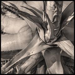 Agave #7 2019; Desert Museum, Dying Agave #2 B&W (hamsiksa) Tags: plants flora vegetation monocots agaves succulents xerophytes desertplants museumphotos desert sonorandesert southwest arizona tucson dyingplants arizonasonoradesertmuseum agavegarden