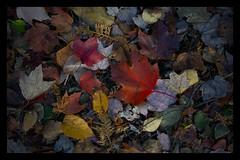 Autumn Leaves (Faron Dillon) Tags: autumn fall leaves red colors nature canada sony canon