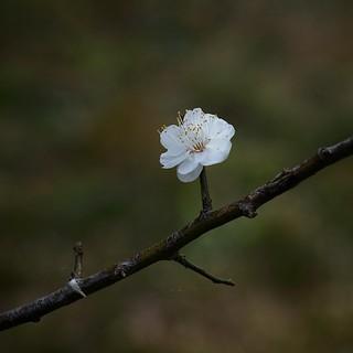 Japanese apricot White (1/3)