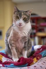 A9__DSC3172_C1 (Bazoka+Cynthia) Tags: pupu cat 小婆 新北市 樹林區 貓