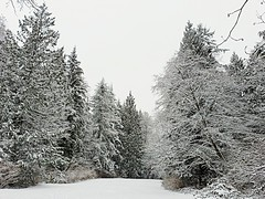 The park in winter (walneylad) Tags: westlynn lynnvalley northvancouver britishcolumbia canada snow whitestuff flurries february winter woods woodland forest urbanforest rainforest park parkland urbanpark eastviewpark trees evergreens trunks branches leaves nature view scenery