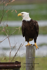 Stern looking American Bald Eagle at Overstreet Landing (wayne kennedy EDD) Tags: americanbaldeagle baldeagle eagle raptor joeoverstreetlanding osceolacounty