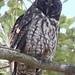 Stygian Owl, Asio stygius Ascanio_Cuba 199A4581