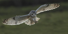Short-eared Owl (wild) - Gorgeous.. Unless you're a vole (Ann and Chris) Tags: avian amazing awesome adorable beautiful close flying gorgeous hunting impressive incoming owl shortearedowl stunning shorteared unbelievable wildlife wild wings