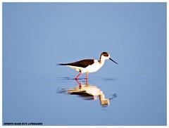 Pernilongo (Himantopus himantopus) (F.J.Piedade) Tags: parque natureza animais almada aves agua piedade
