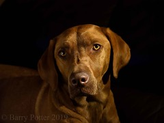 Butter wouldn't melt !     Bracken looking gorgeous (Barry Potter (EdenMedia)) Tags: barrypotter edenmedia nikon d7200 bracken dog
