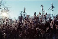 * (Ulla M.) Tags: nikonf801s reflectaproscan10t kleinbild 35mm selfdeveloped selbstentwickelt homedeveloped umphotoart analogphotography analogue analog filmphotography film freihand filmshooter filmisnotdead winter ice lake see eis expiredfilm nikkor50mm gegenlicht backlit tetenalcolortec superia fujisuperia ishootfilm