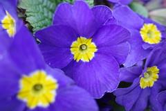 RICOH GR 08 flower macro (HAMACHI!) Tags: flower flowermacro macro tokyo 2019 japan ricoh ricohgriii ricohimaging ricohgr gr gr3 griii loadtest cameratest