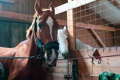 _DSC0047 (AlexanderVlasov) Tags: horse портрет конюшня рыжий конь скакун халтикин