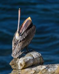 I'm bored…………… (craig goettsch) Tags: pelican yawn brown blue water brownpelican animal bird avian nikon d850