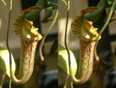 Pitcher Plant rendered as a Stereoscopic 3D image. (Bill A) Tags: stereoscopic pitcherplant botanicalgardens stereoscopy rawlingsconservatory