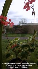 Variegated Geranium (Green & white) flowering in bedroom window 20th March 2019 001 (D@viD_2.011) Tags: variegated geranium green white flowering bedroom window 20th march 2019