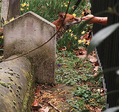 Dying To Smell Your Hand (tcees) Tags: bunhillfields london ec1 x100 fujifilm finepix woman hand arm grave burialground graveyard nature animal fox daffodils railings leaves headstones branches grass moss wildlife cemetery