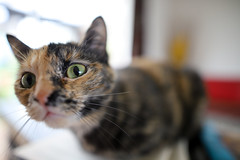curiosity killed the cat... (chtimageur) Tags: cat chat poes kat curious close up bokeh sigma 24 14 art canon 6d mark ii