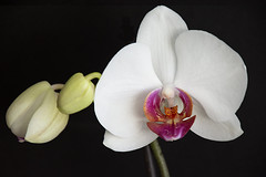 20190330 Orchid - in Explore (Dolores.G) Tags: 365the2019edition 3652019 day89365 30mar19